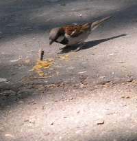 eating off the ground